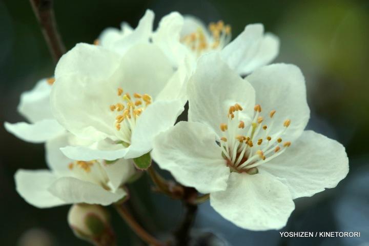 Plum Flower-2-A09A2192