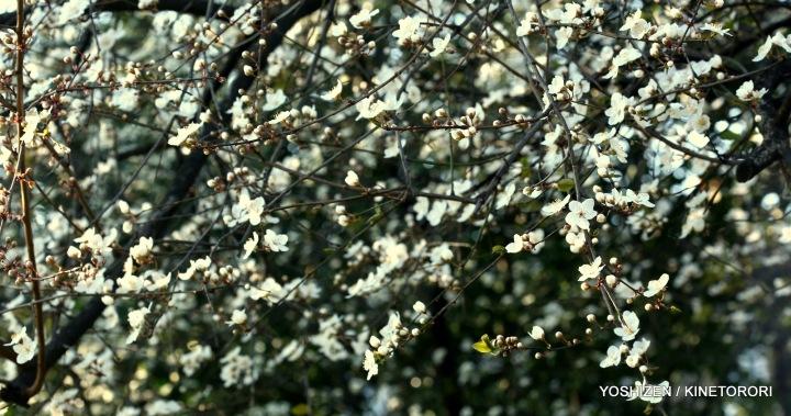 Plum Flower-A09A2194