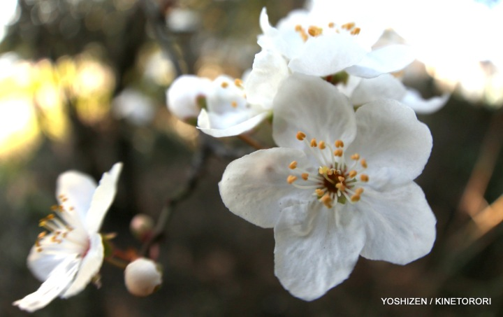Plum Flower-Fisheye-2-A09A2179