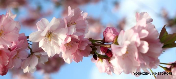 Perpetual Cherry in Full-Bllom (1) A09A2560-001