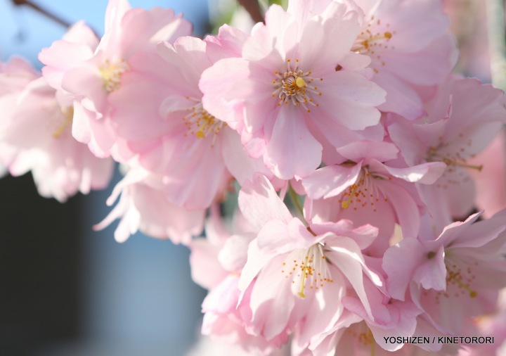 Perpetual Cherry in Full-Bloom (4)A09A2559-001