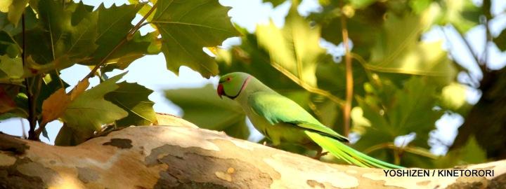 Parakeet(1)A09A1617