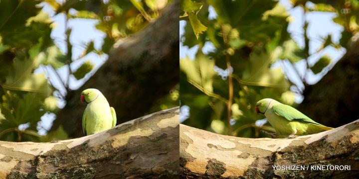 Parakeet(2)480-001