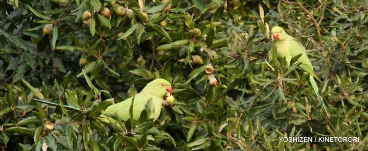 Parakeet(3)479-001