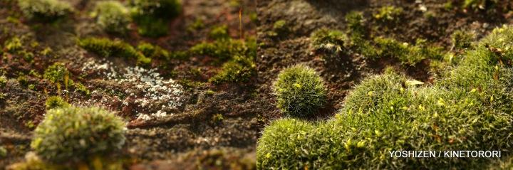 Moss(3)611-001