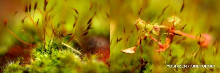 Moss(4)612-001