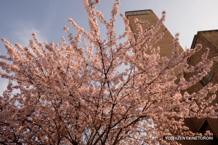 Cherry in Greenwich-03-2014(1)DSC_1005