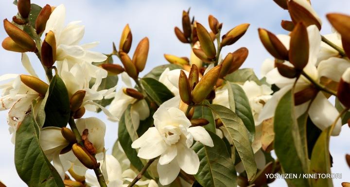 Early Magnolia(11)A09A3964