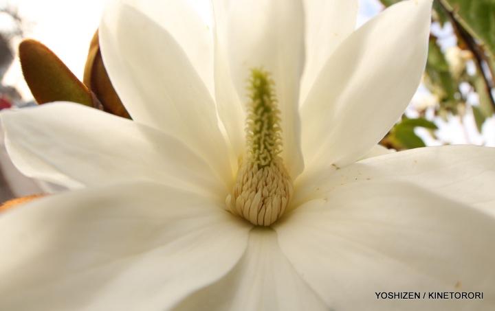 Early Magnolia(12)A09A3969