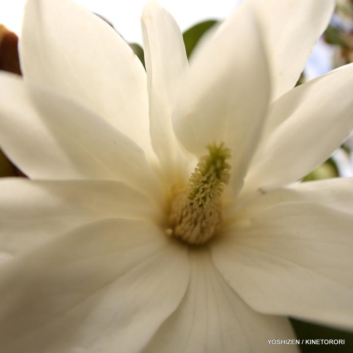 Early Magnolia(13)A09A3967