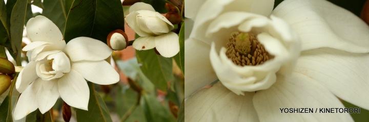 Early Magnolia(3)615-001
