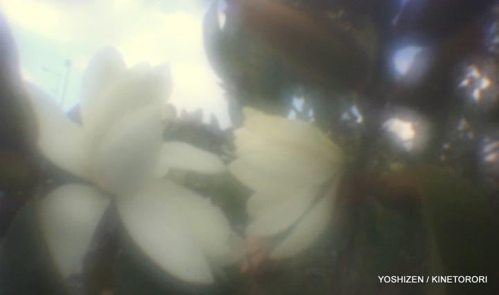 Early Magnolia(5)A09A3868