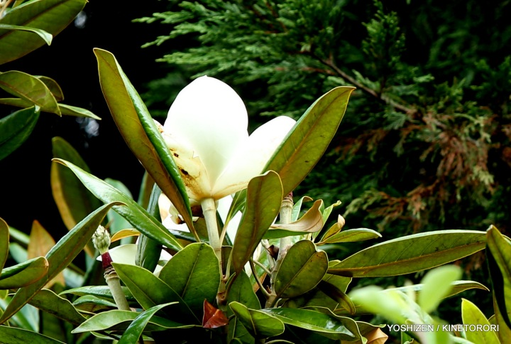 Magnolia at Park(3)A09A3791