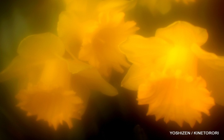 Daffodil-1-A09A6658