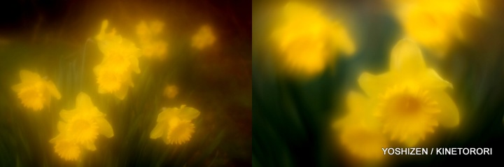 Daffodil-3-294-001