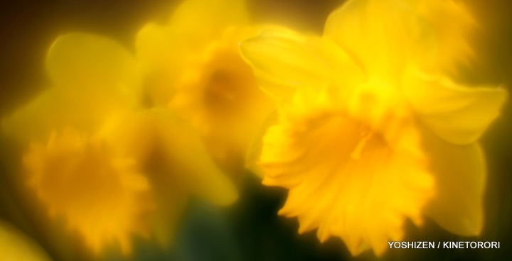 Daffodil-5-A09A6657