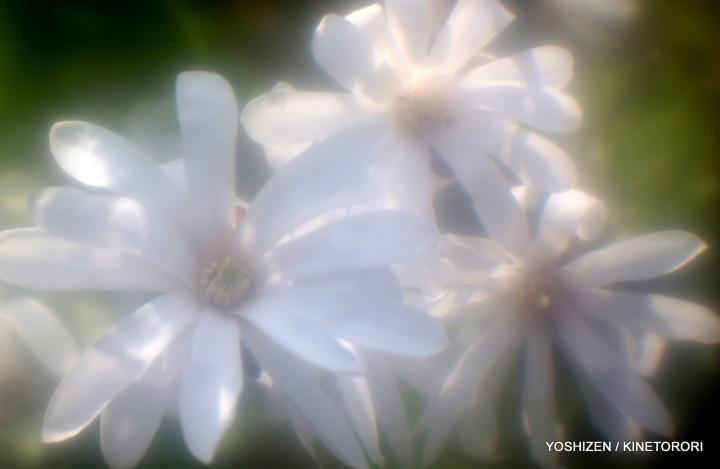 Magnolia-2015-02-A09A7106