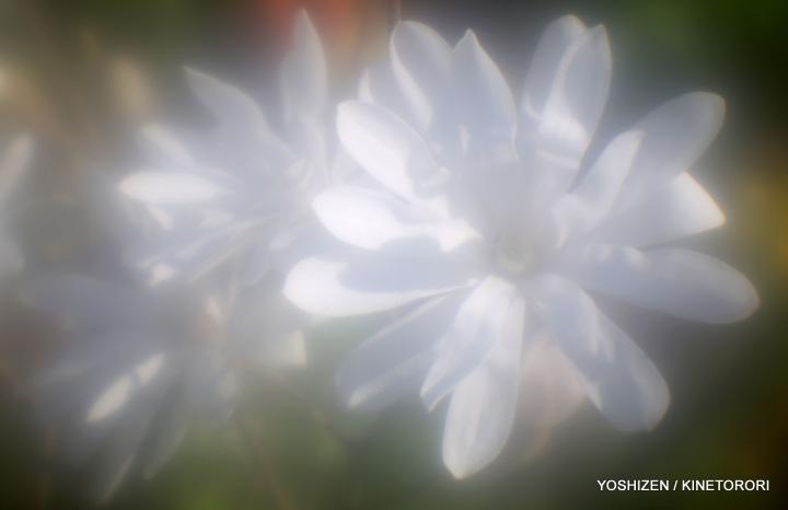 Magnolia-2015-03-A09A7097