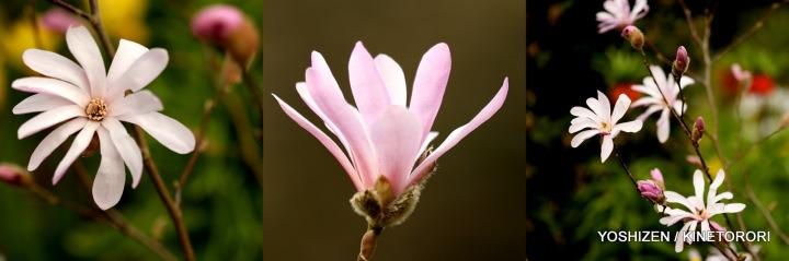 Magnolia-2015-10-310-001