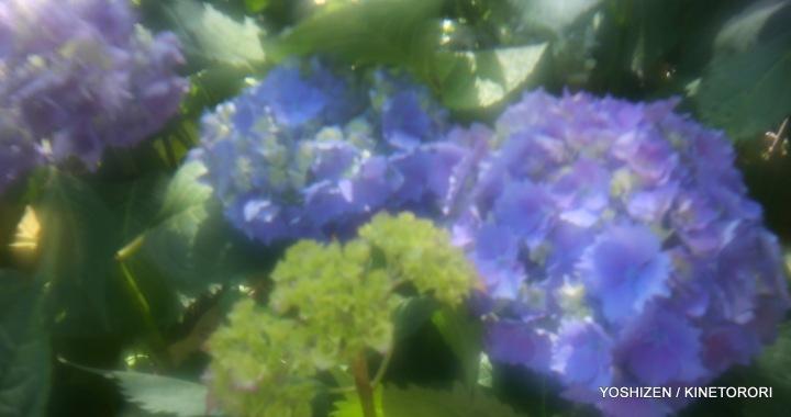 Hydrangea G'nich-02-A09A2086