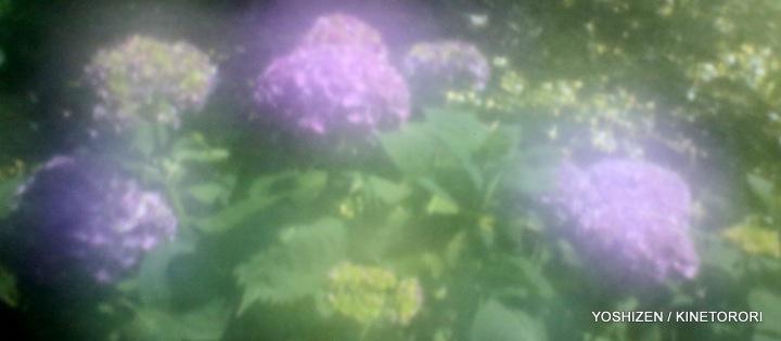 Hydrangea G'nich-03-A09A2068