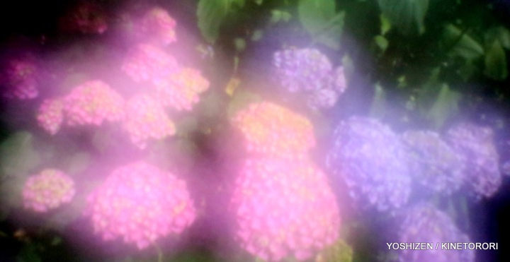 Hydrangea G'nich-05-A09A2069