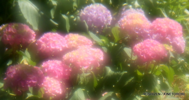 Hydrangea G'nich-06-A09A2083