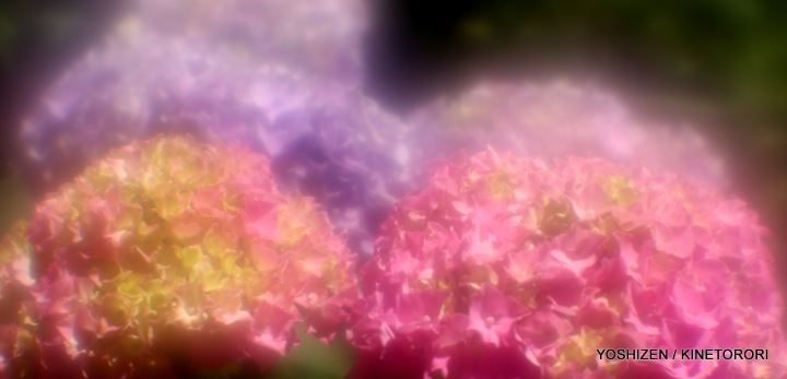 Hydrangea G'nich-07-A09A2062