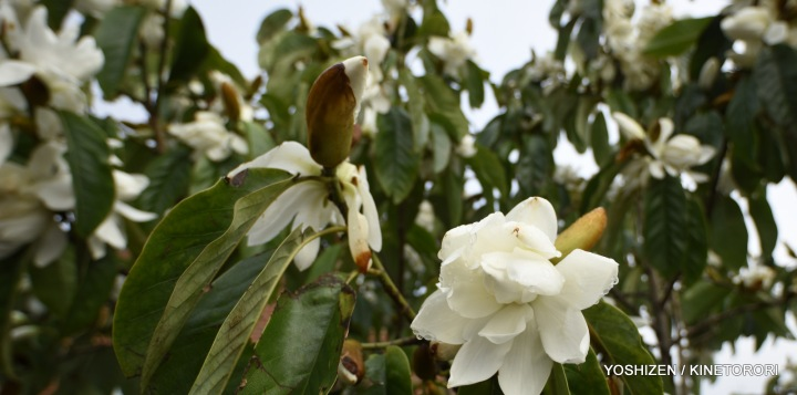 1-Early Magnolia_DSC2555