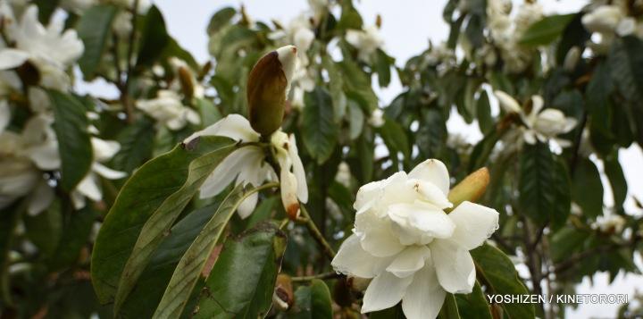 1-Early Magnolia_DSC2555