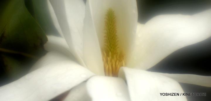 3-Early Magnolia_DSC2564