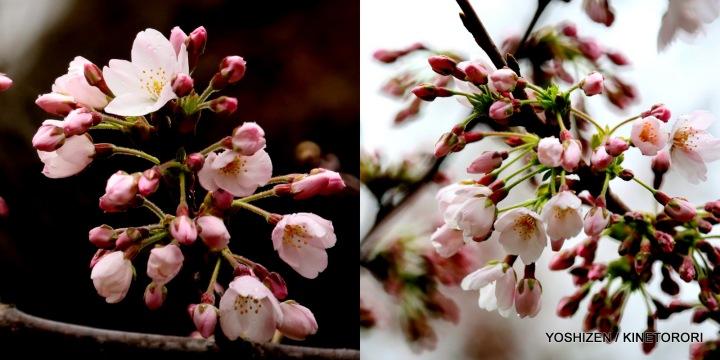 1-First Cherry'16-001