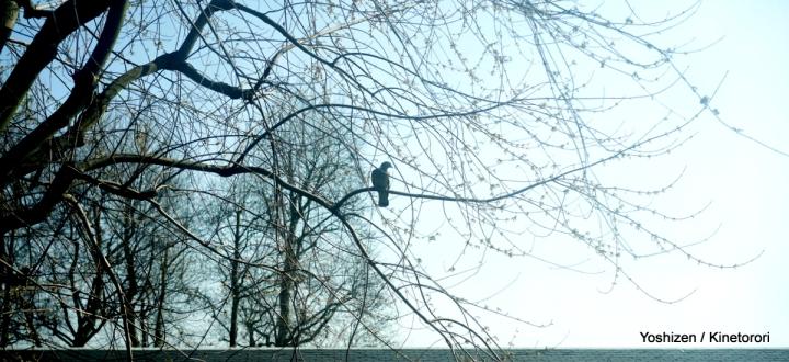 Wood Pigeon(1)-DSC05840