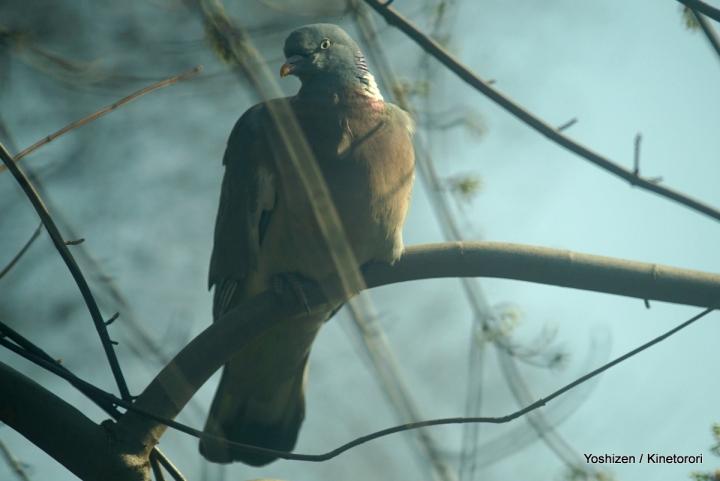 Wood Pigeon(2)-DSC05847