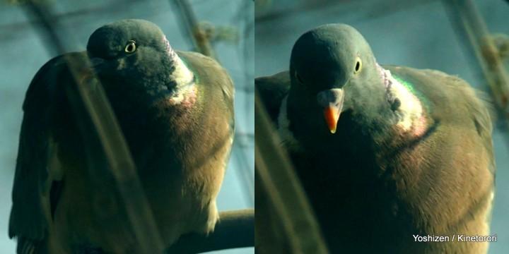Wood Pigeon(3)-11