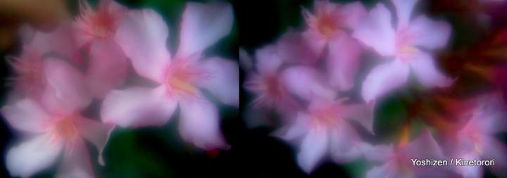 Oleander(2)-001