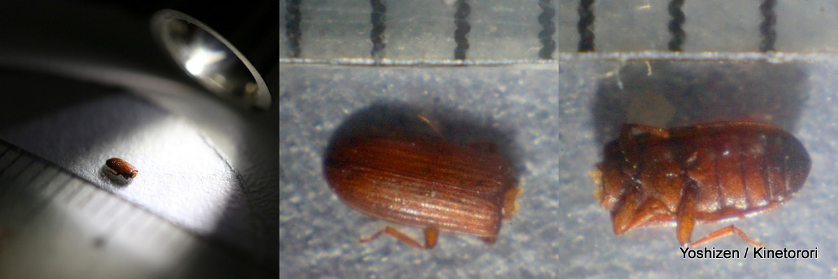 Rice Beetle(2)-000