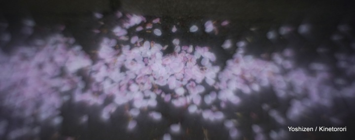 Cherry cherry(1)-DSC09146