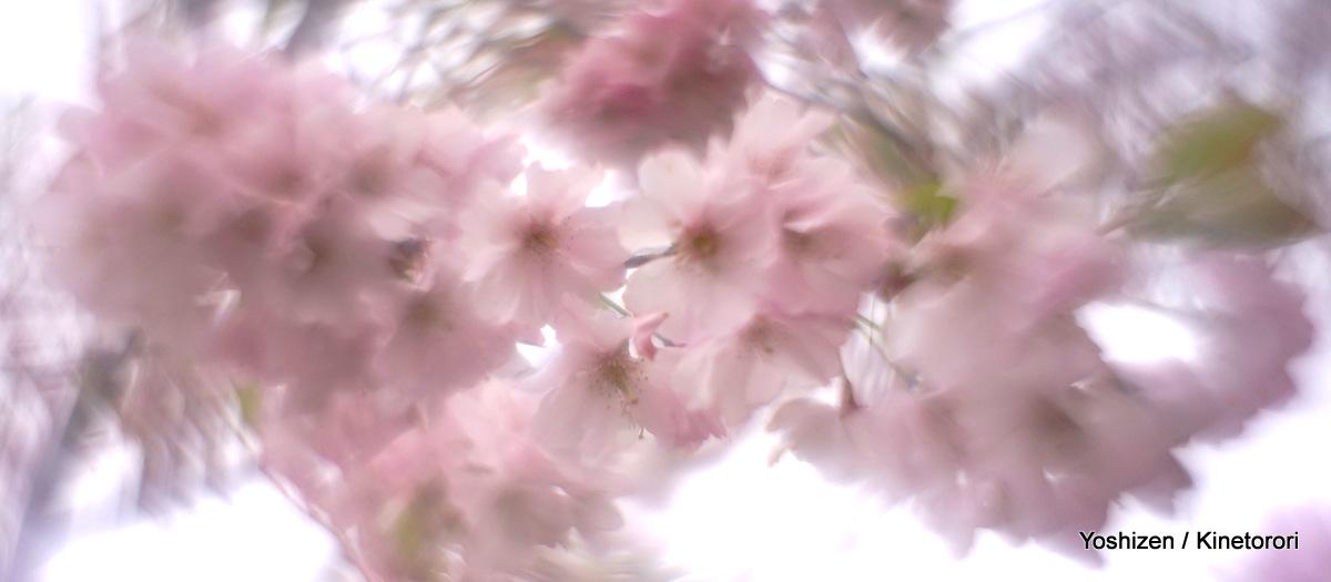 Cherry cherry(3)-DSC09147