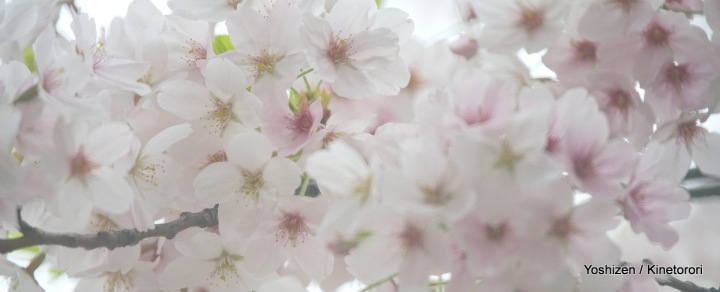 Cherry cherry(5)-DSC09166