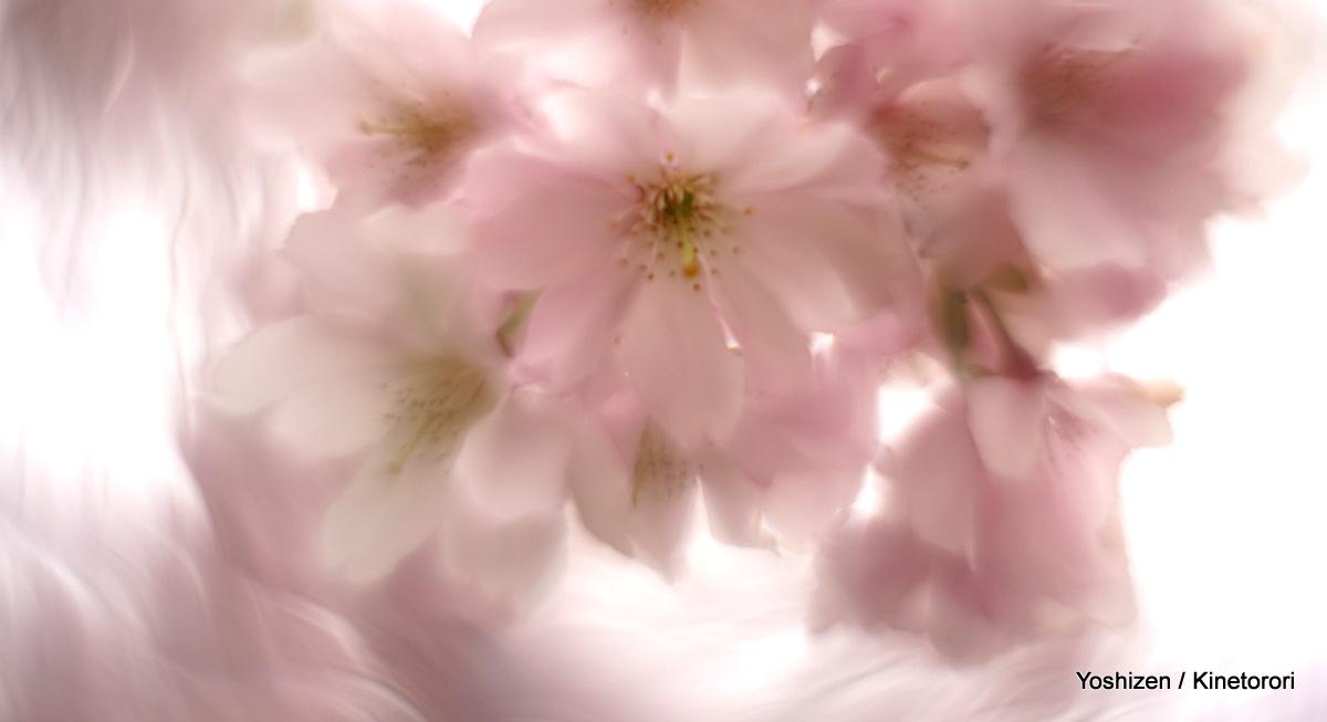 Cherry cherry(7)-DSC09150